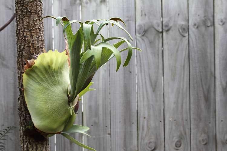 листья платицериума