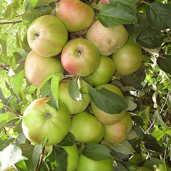 Колонновидная яблоня сорта Готика