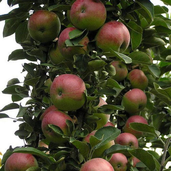Колонновидная яблоня сорта Арбат