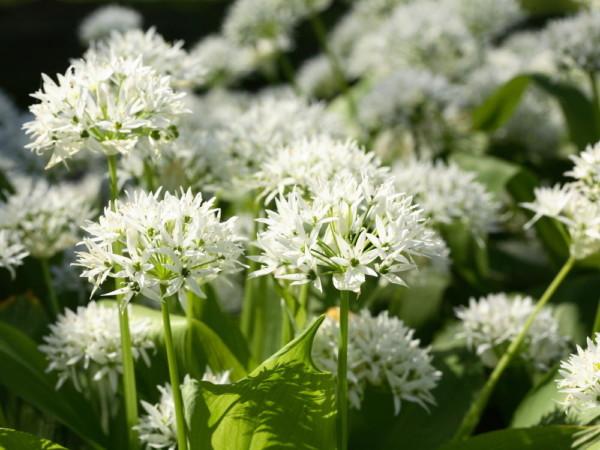 белые цветочки черемши