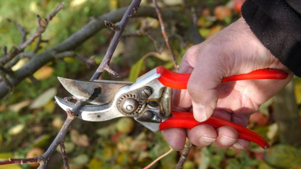 обрезка грушевого дерева