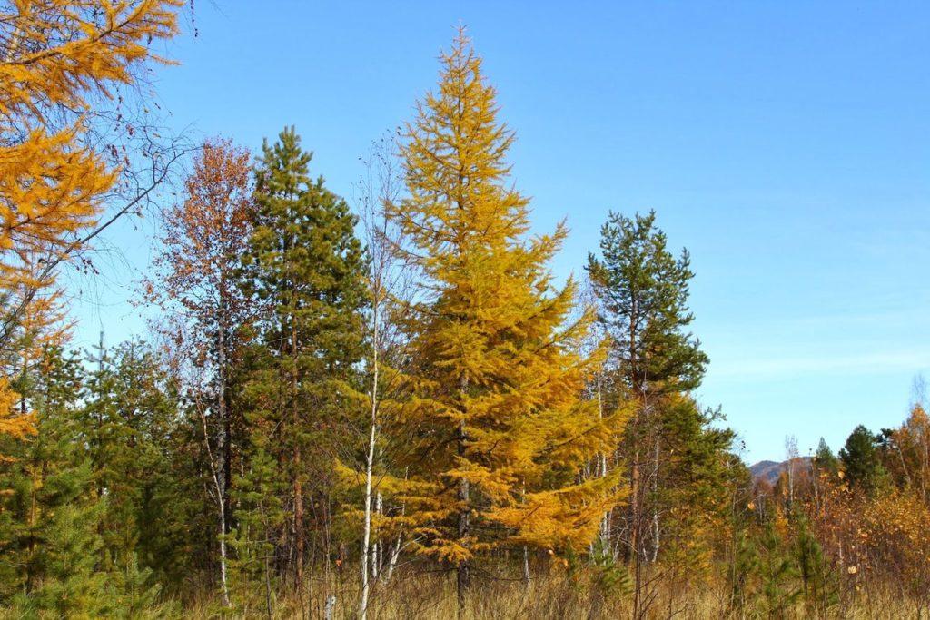 лиственница - хвойное дерево