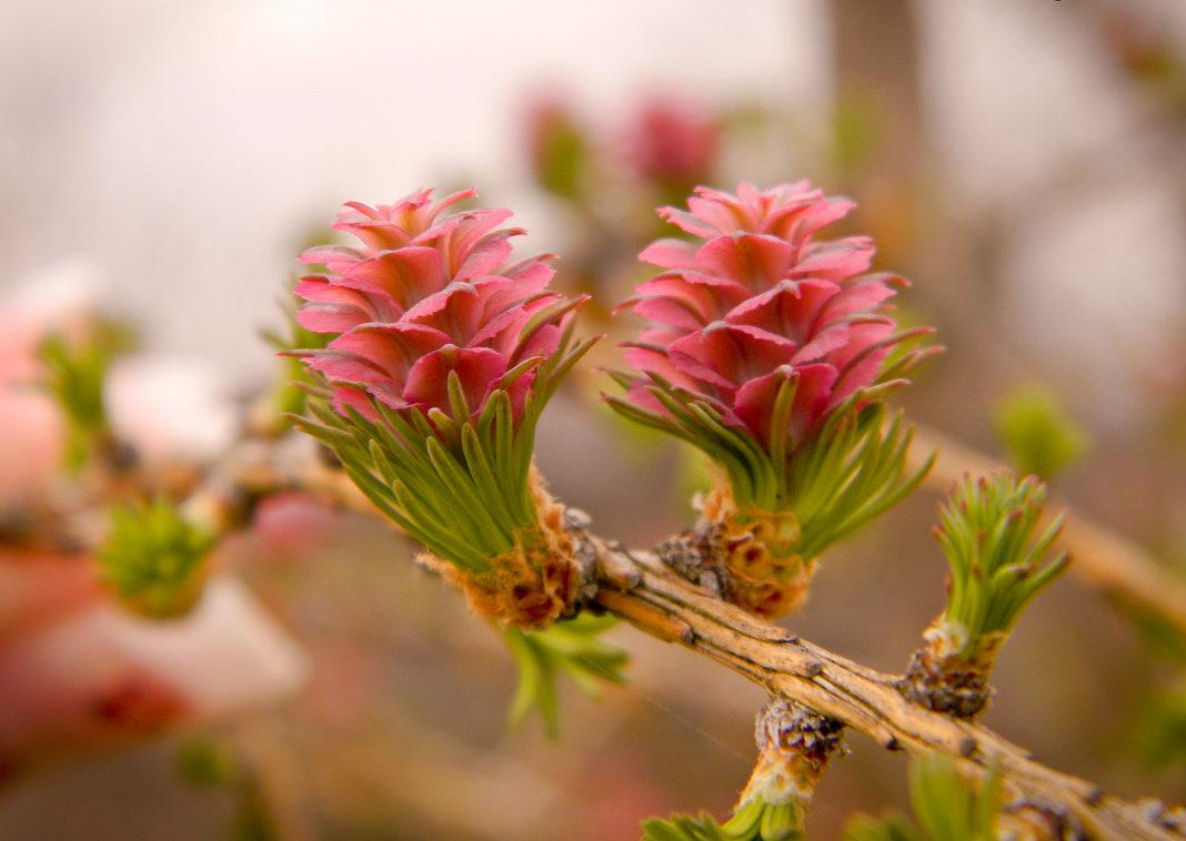 розовая шишка лиственницы