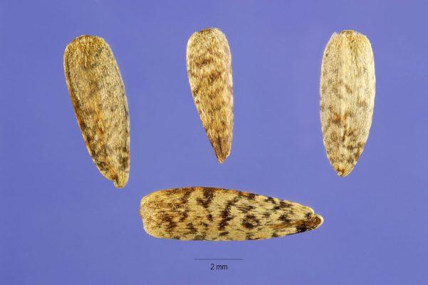 Семена топинамбура