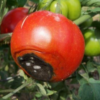 Вершинная гниль плодов томата