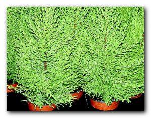 Оригинальное комнатное и неприхотливое растение кипарис