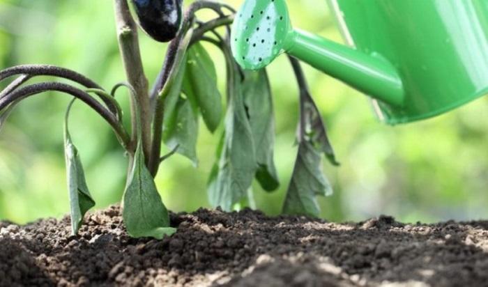 Народный рецепт органической подкормки во время цветения