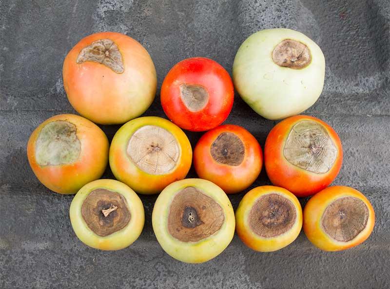 Фото пораженных плодов