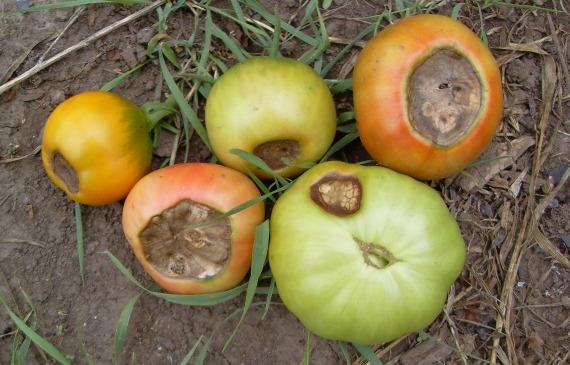Чем обработать томаты, чтобы не потерять урожай