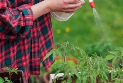 Как понять, что помидоры поражены вершинной гнилью? Описание болезни, способы лечения и профилактика