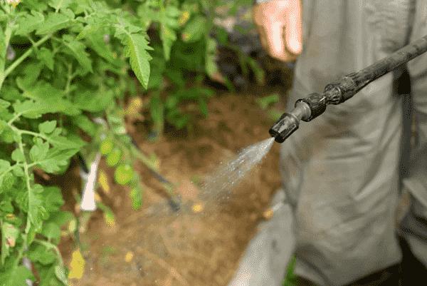 Вершинная гниль на помидорах – причина появления и как с ней бороться