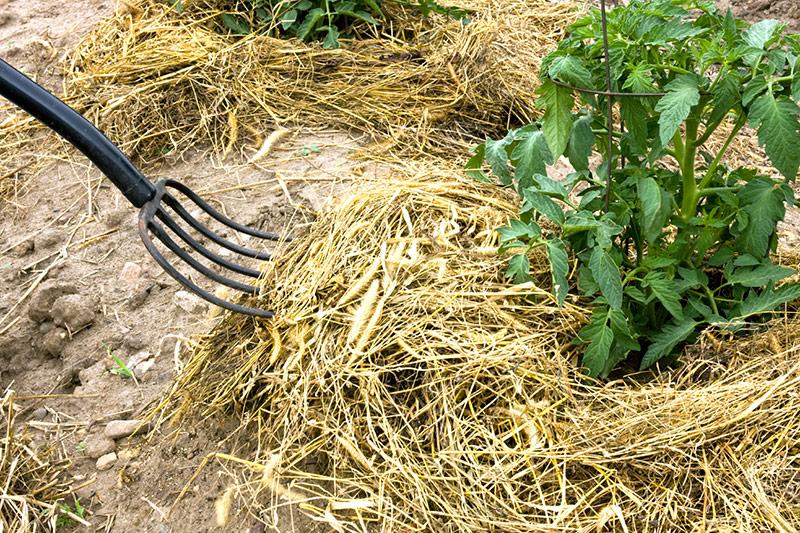 Мульчирование почвы под томатами