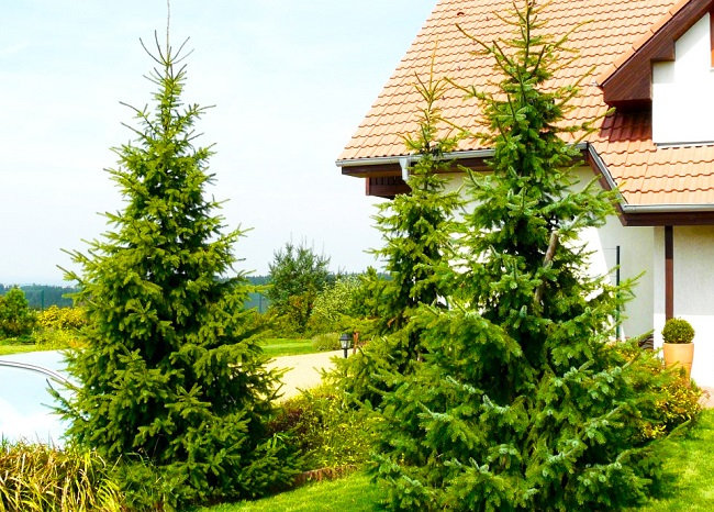 ель сербская Picea Omorika
