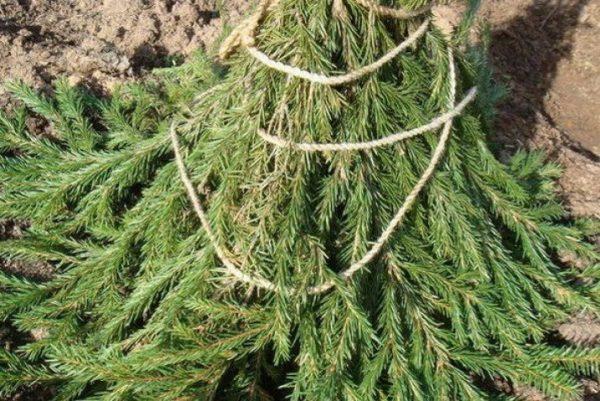 Дерево, укрытое лапником