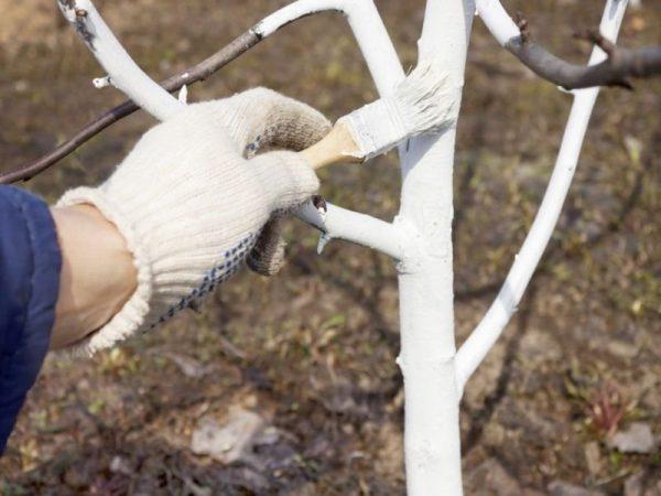 Побелка плодового дерева