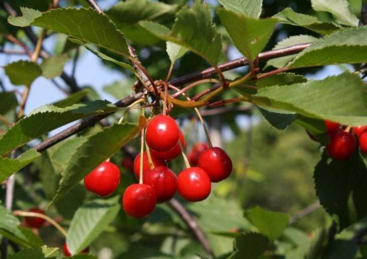 Вредители вишни: 135 фото основных типов заболеваний и методы лечения дерева