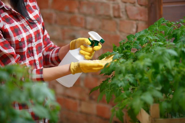 опрыскивание рассады томатов янтарной кислотой