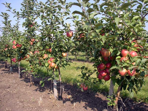 Взрослые яблони