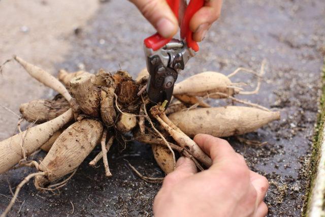Как правильно черенковать георгины весной, осенью