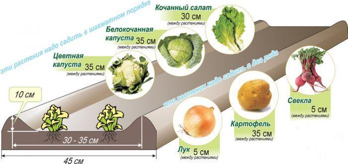 Правильное расположение овощей в грядке