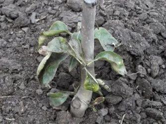 Почему не растет груша что делать?