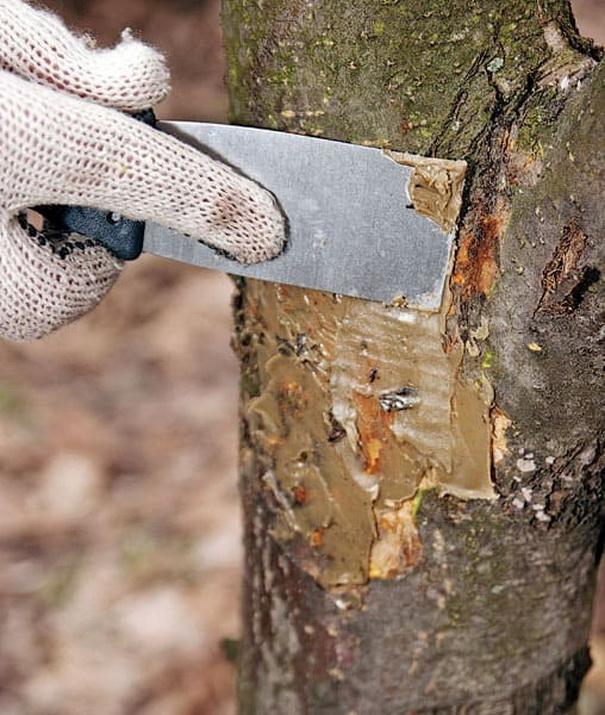 Камедетечение плодовых деревьев: лечение и меры профилактики