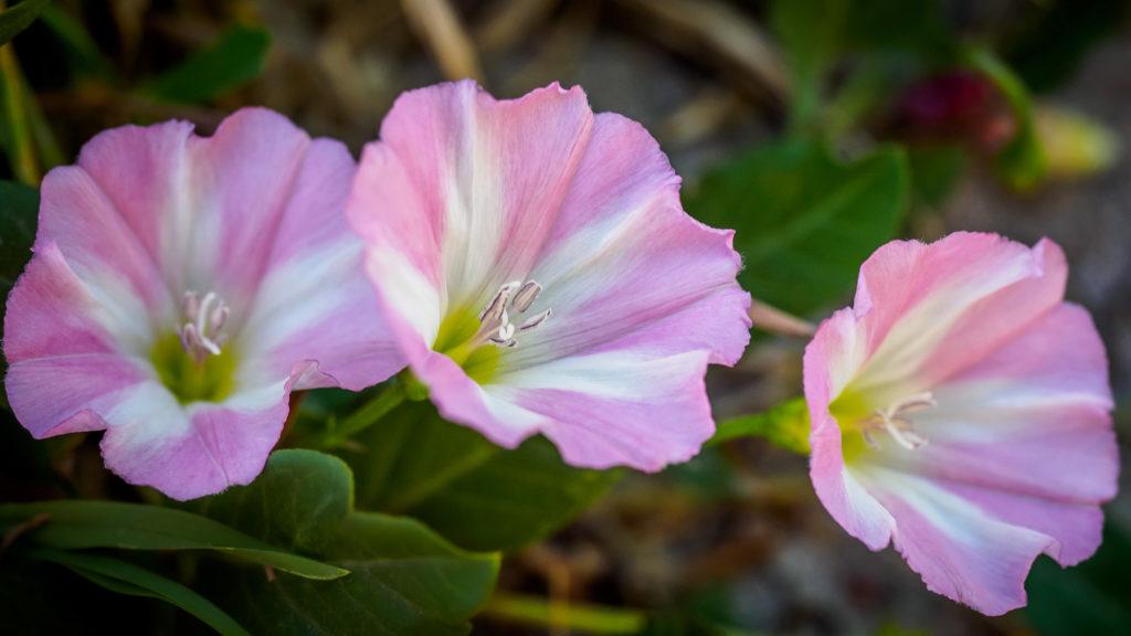 Распустившиеся цветки вьюнка