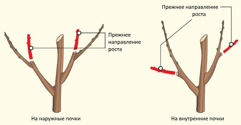 Как ухаживать за саженцами яблони в первый год: формирование