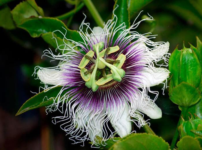 Из-за недостаточно влажного воздуха растение может заболеть