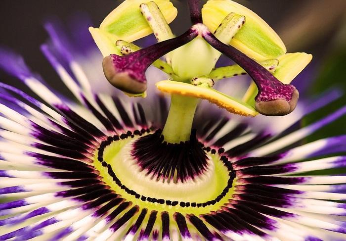 Пассифлора – вечнозеленое многолетнее экзотическое ампельное растение со звездчатыми одиночными крупными цветками