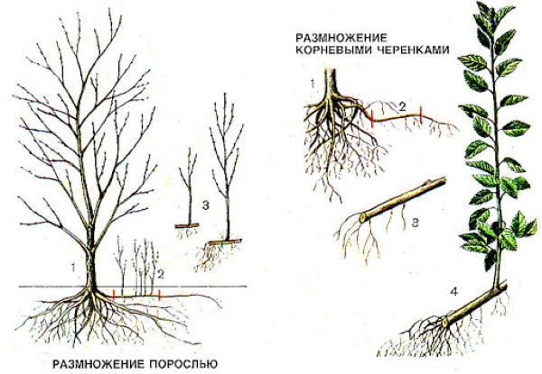 Сумах оленерогий уксусное дерево. Фото и описание, посадка, уход