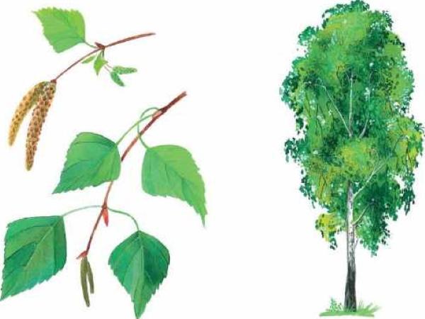 Лиственные деревья. Фото и названия для детей