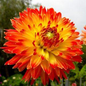 Однолетние георгины - когда сеять семена, посадка и уход за рассадой, сорта с фото и названиями
