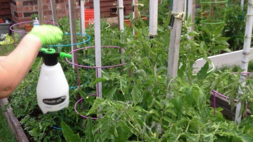 Как правильно и для чего поливать помидоры марганцовкой