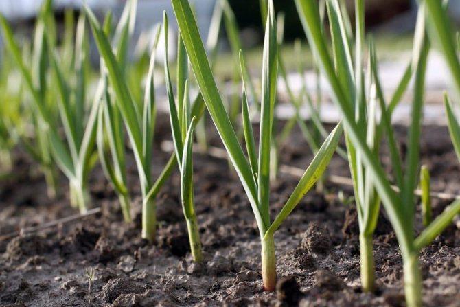 Борьба с тлёй с помощью чеснока доказывает свою эффективность из года в год