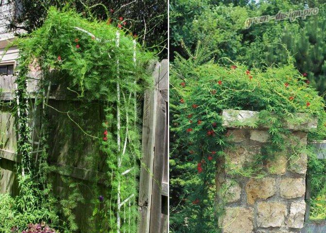 Посадка и уход за ипомеей многолетней — самой известной садовой лианой