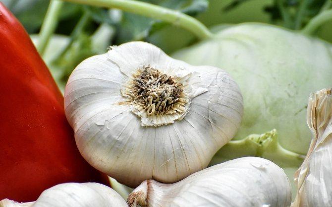 Чеснок издревле считается эффективным средством борьбы против тли в огороде
