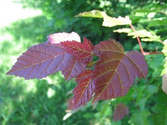 Листья татарского клена