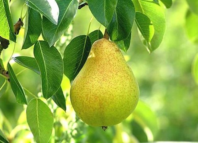 На какой год плодоносит груша после посадки и сколько раз