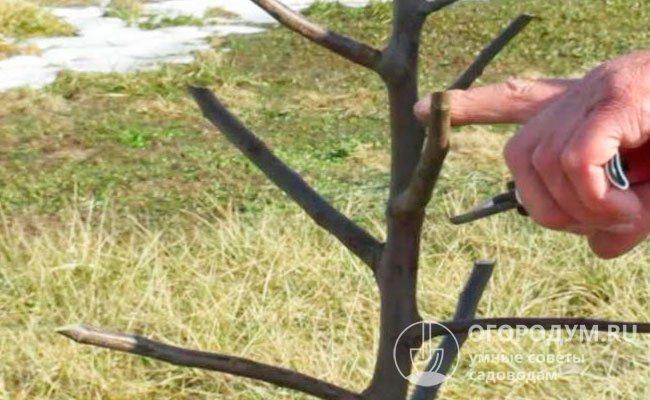 Опытные садоводы рекомендуют в северных регионах оставлять несколько равноправных ветвей, формируя пирамидальную крону, на случай повреждения верхушечных почек