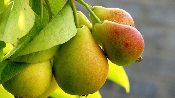 Подборка лучших сортов самых вкусных зимостойких груш для Сибири