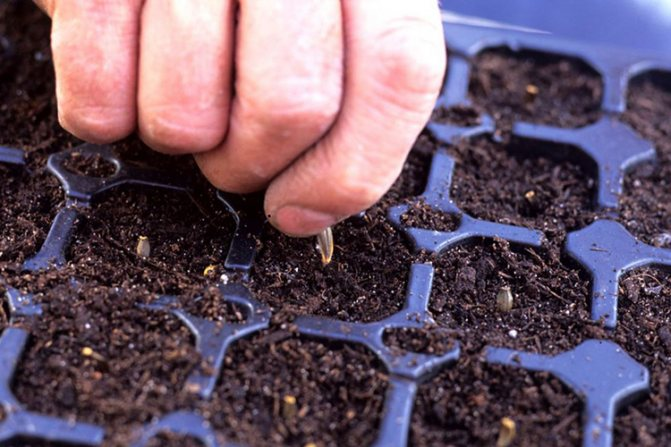 Размножение георгинов черенкованием, делением клубней, семенами