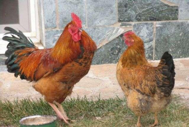 Петух ухаживает за курицей