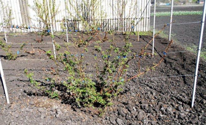 Выращивание ежевики
