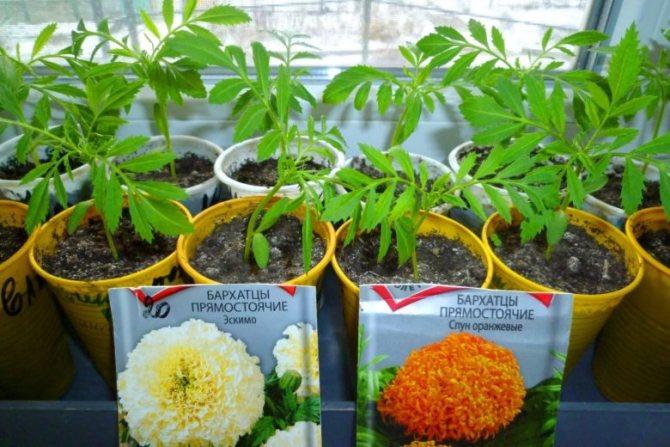 Выращивание рассады бархатцев из семян