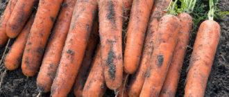 Уборка и хранение моркови