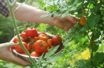 Заготавливаем семена томатов