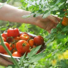 Как заготовить семена томатов самостоятельно