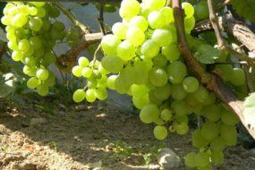 Топ-30 лучших ранних сортов винограда: их описание, характеристики и фото
