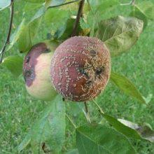Монилиоз яблони: причины и что делать, как спасти урожай